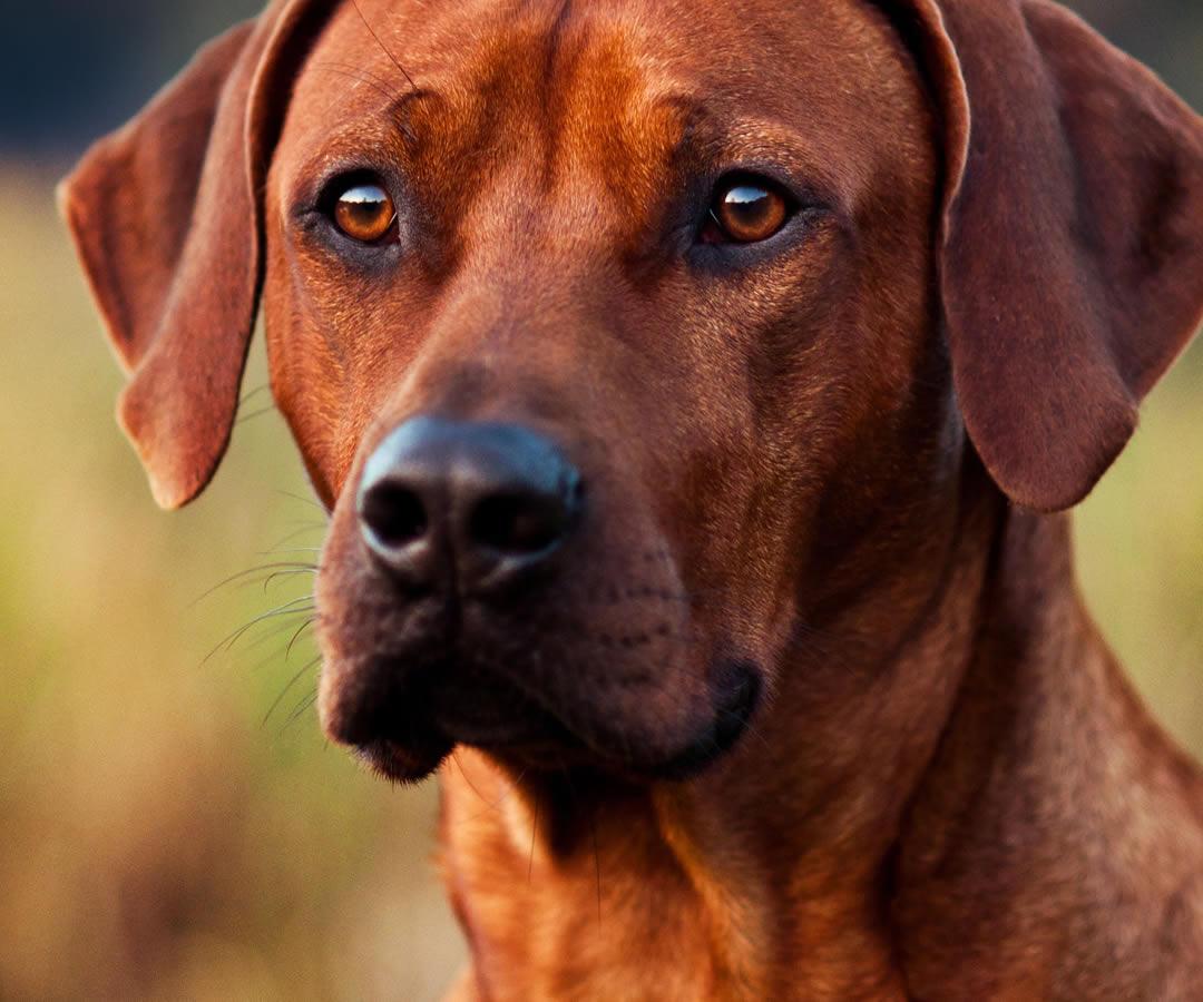Corso per conduttore di cani da traccia