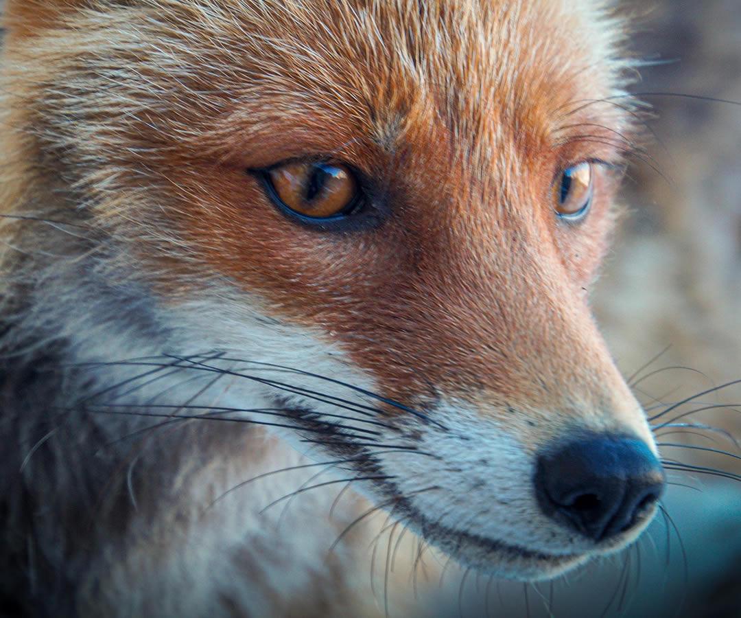 Corso per operatore abilitato al controllo della specie volpe